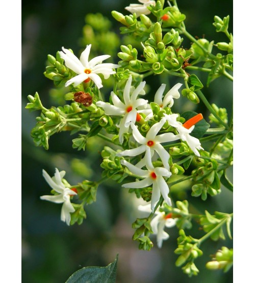 Night Jasmine Flower